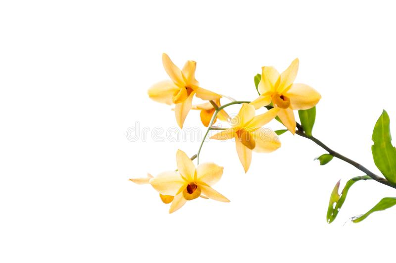 Zweig der gelben Orchideen getrennt auf Weiß stockbilder