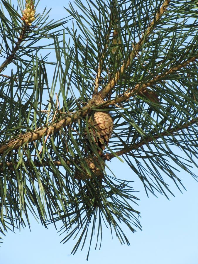 Zweig der Kiefer mit Kegeln stockfoto