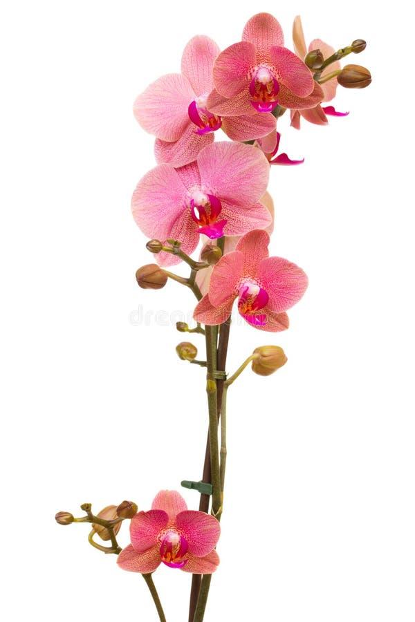 Zweig der rosa Orchidee lizenzfreies stockbild