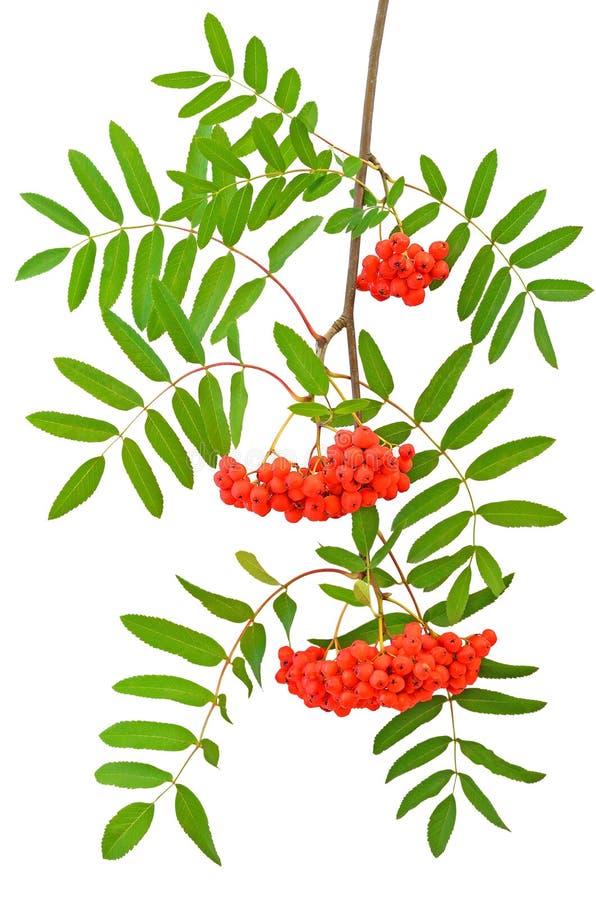 Zweig der roten Vogelbeeren stockbild