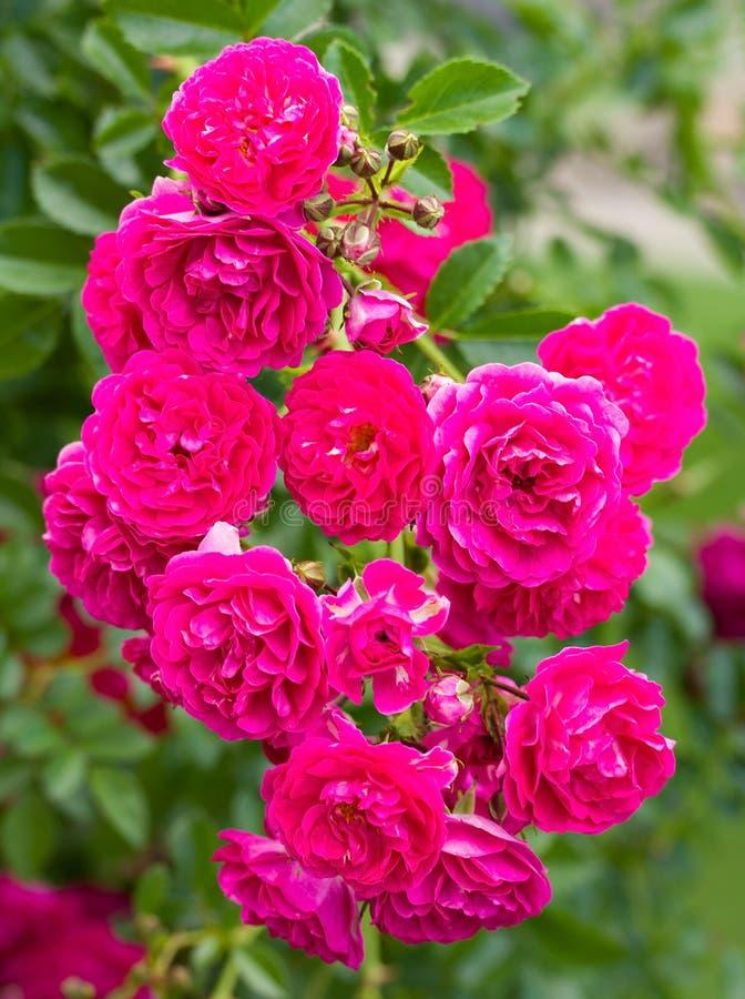 Zweig der schönen rosafarbenen Rosen lizenzfreies stockbild