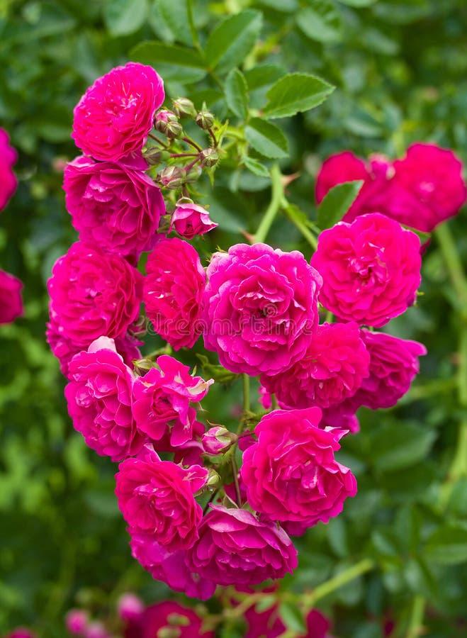 Zweig der schönen rosafarbenen Rosen als Inneres lizenzfreie stockbilder