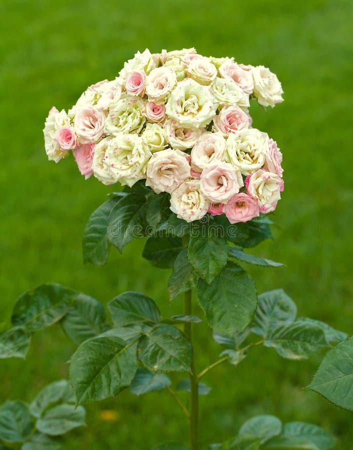Zweig der schönen weißen Rosen als Blumenstrauß stockbilder