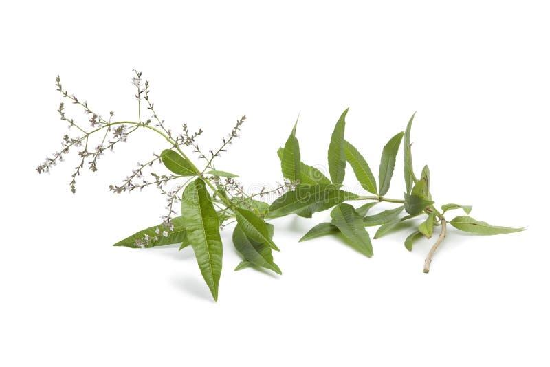 Zweig des blühenden verveine stockfoto