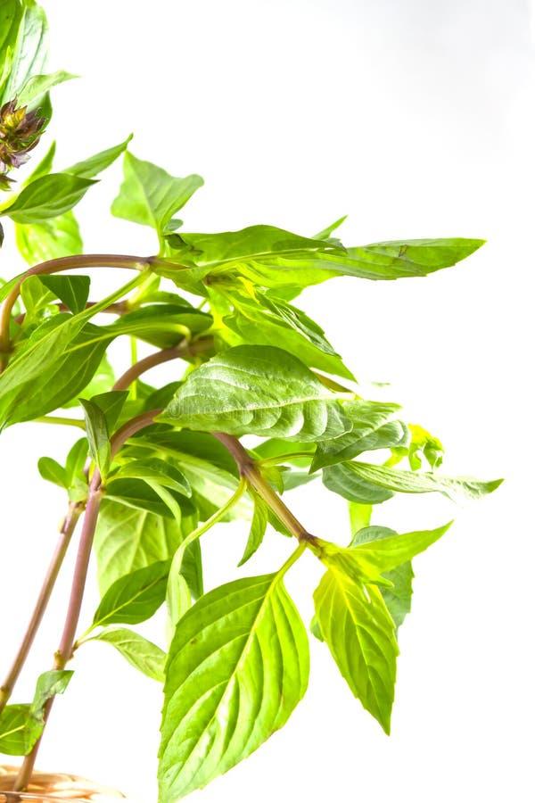 Zweig des süßen Basilikums lizenzfreies stockbild