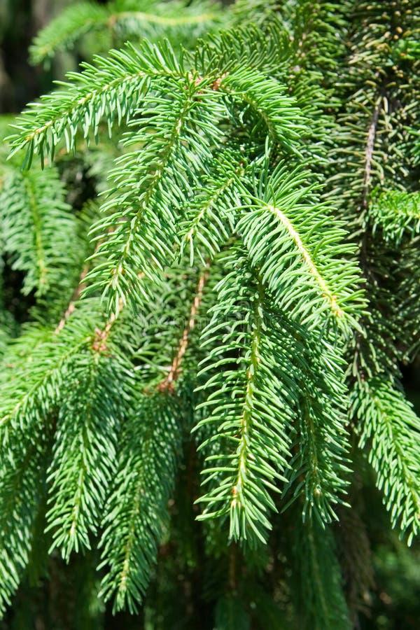 Download Zweig des Tannenbaums stockbild. Bild von makro, karte - 12203247