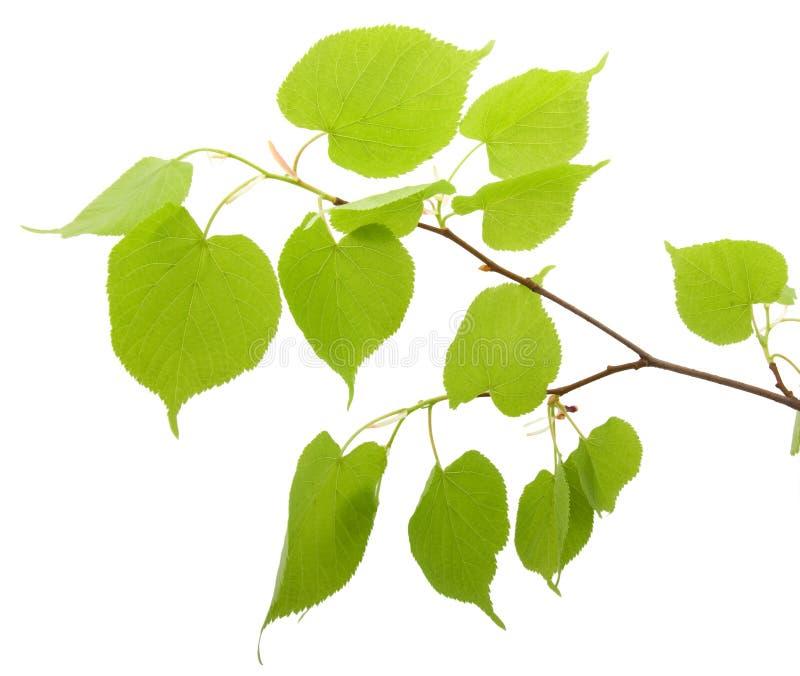 Zweig einer Birke stockbild