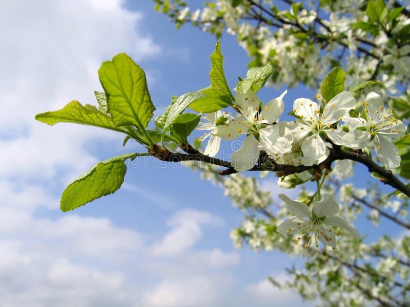 Zweig eines blühenden Baums lizenzfreies stockbild