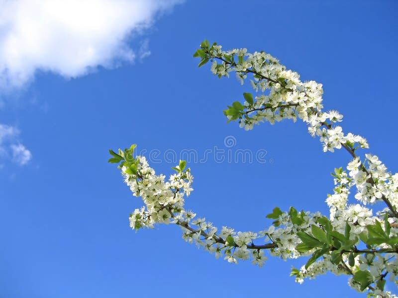 Zweig eines blühenden Baums lizenzfreie stockbilder