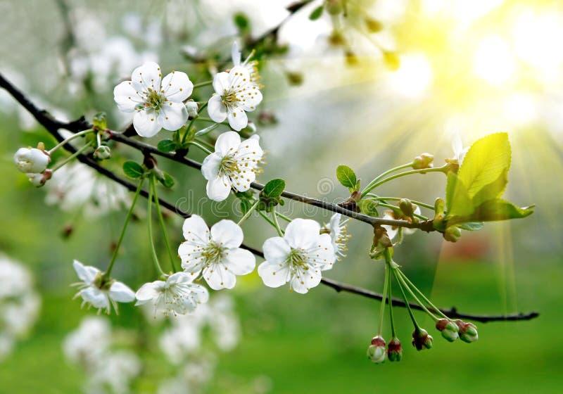 Zweig eines blühenden Baums stockfotografie