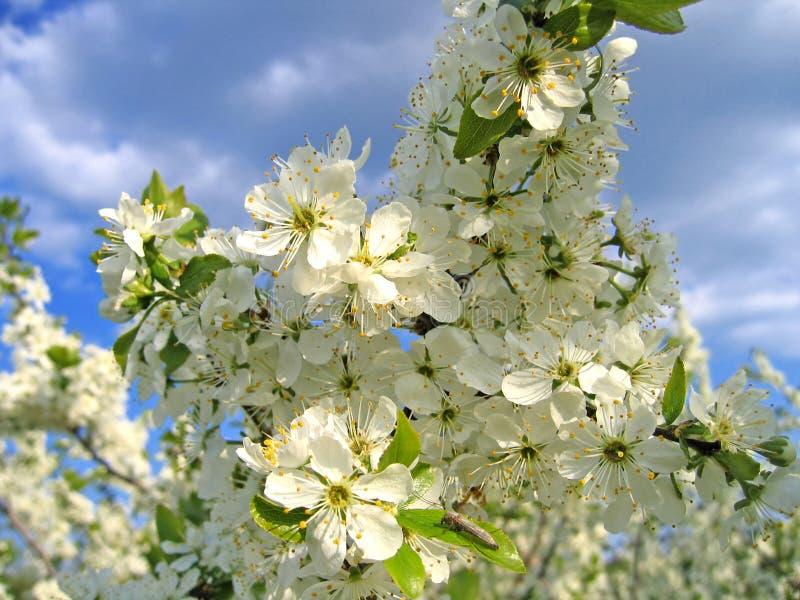 Zweig eines blühenden Baums lizenzfreie stockfotos