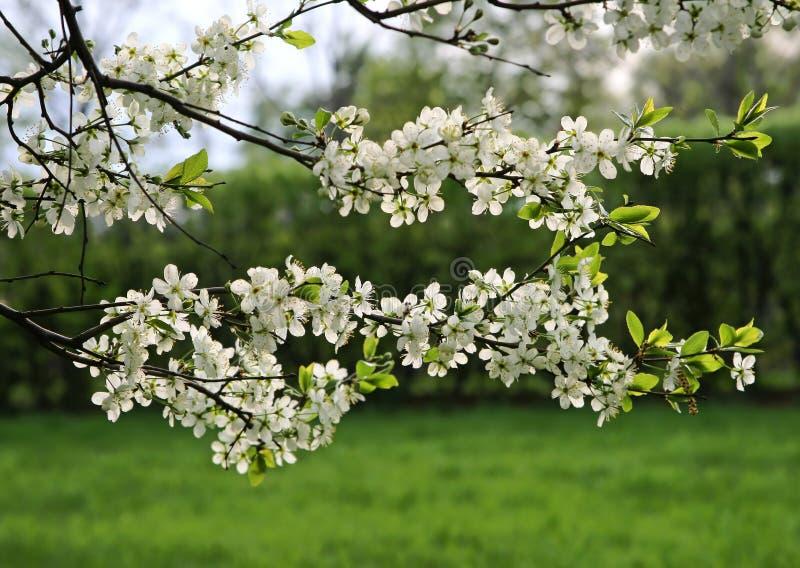 Zweig eines blühenden Baums stockfotos