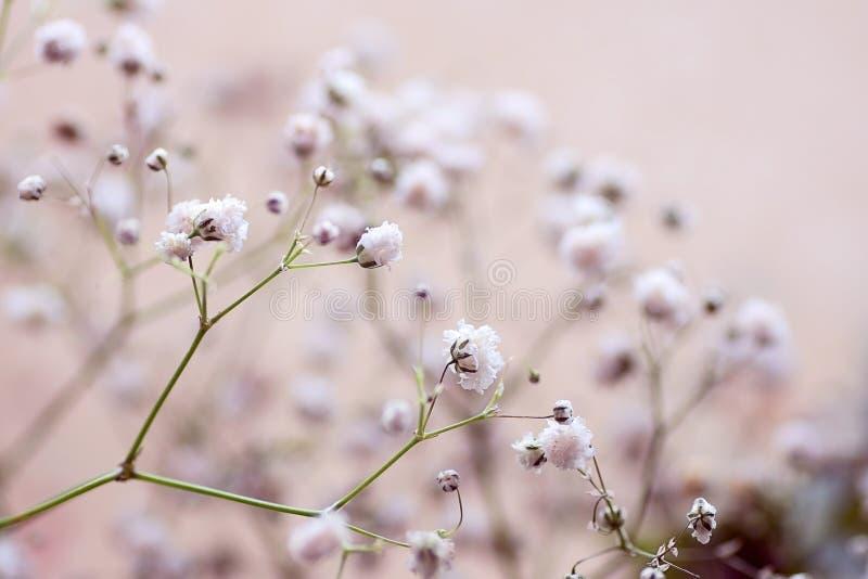 Zweig mit Blumen der paniculate Nahaufnahme des Gypsophila auf Hintergrund lizenzfreies stockbild