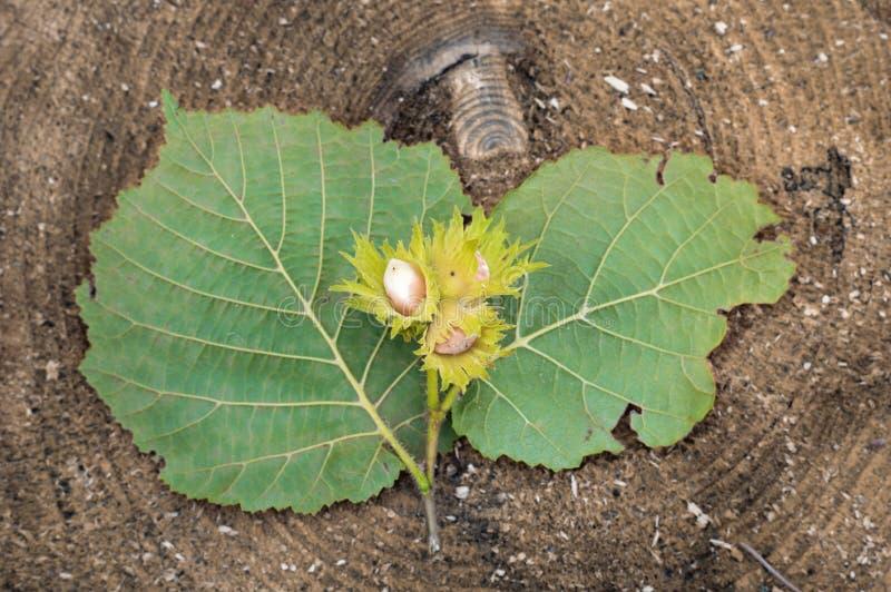 Zweig mit der Haselnussnuß, zum auf dem Schnittbaum zu liegen stockfoto