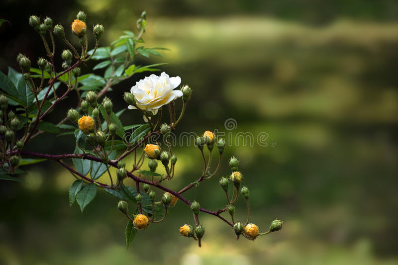 Zweig mit empfindlichen Rosen und den Knospen in der hellen gelben Aprikose u. in x28; Hybr lizenzfreie stockfotografie