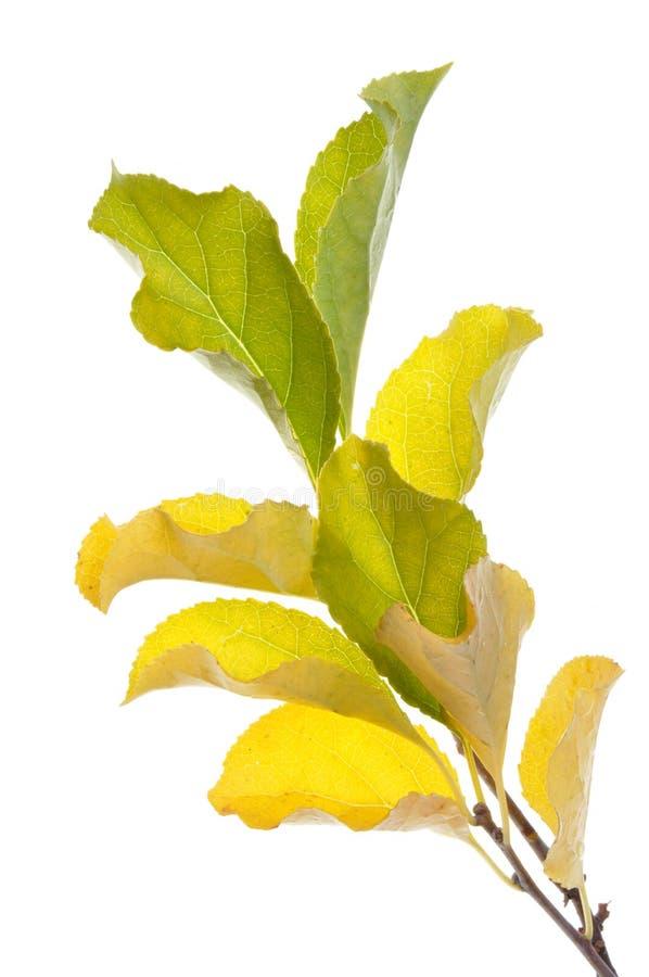 Zweig mit gelben Blättern stockfotografie