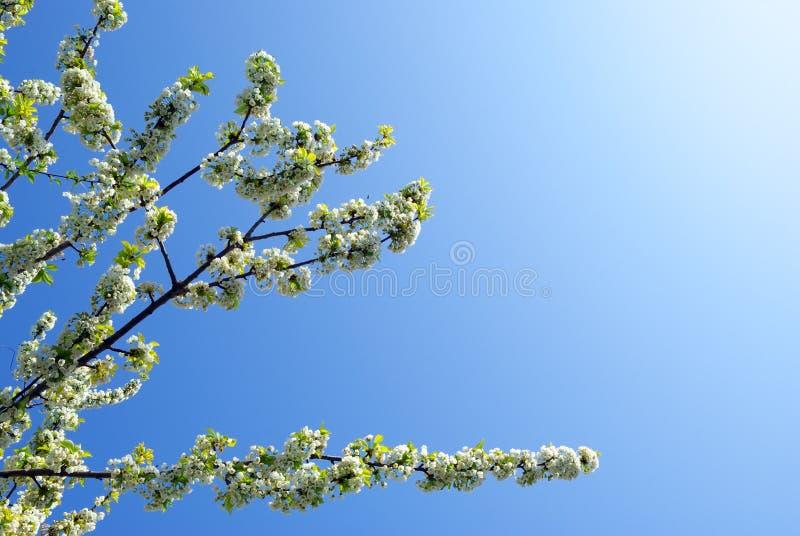 Zweig von Sakura stockbilder