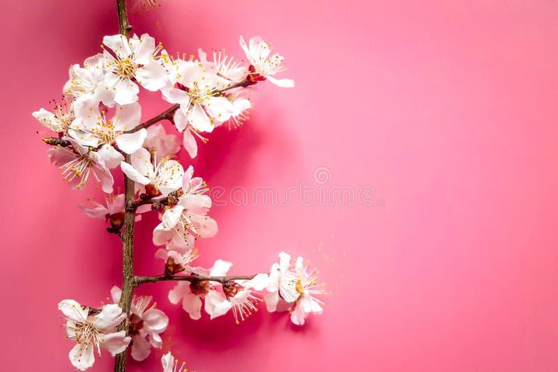 Zweige der hölzernen Aprikose mit weißen Blumen und den gelben Staubgefässen auf beige Tonhintergrund stockfoto