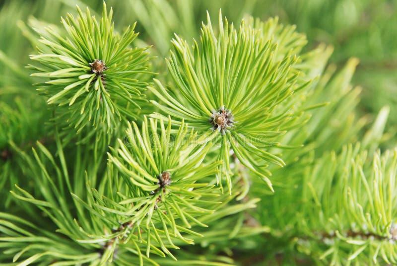 Zweige der jungen Pelzbäume stockfotos