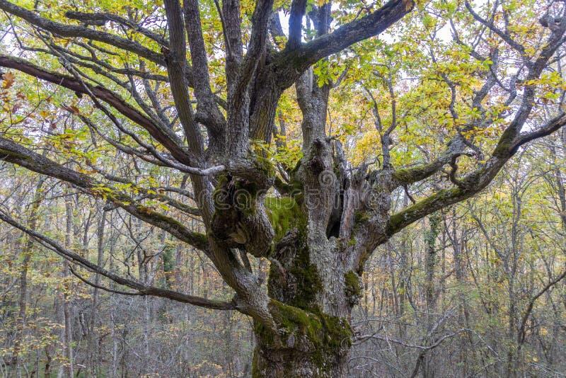 Zweige des alten Baumes im Herbst stockbild