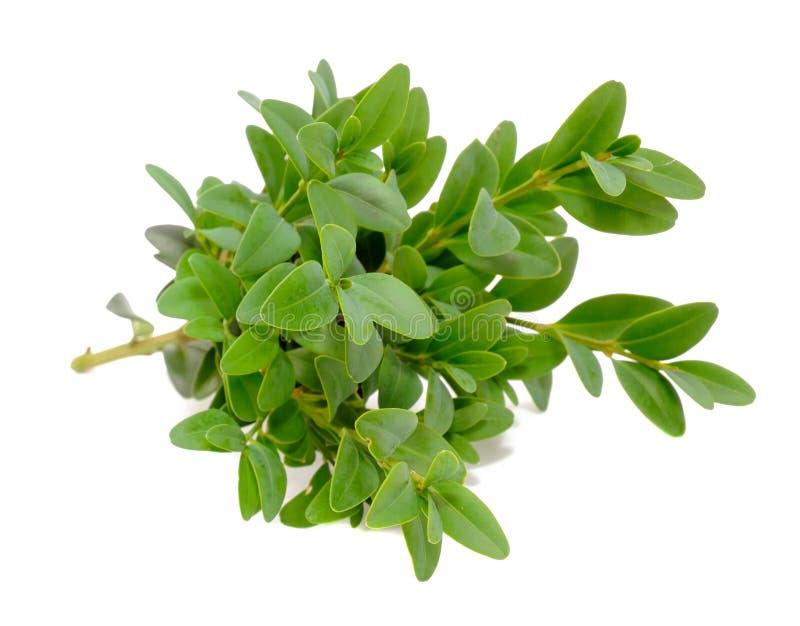 Zweige des Boxwood-(Kasten) mit grünen Blättern lizenzfreies stockbild