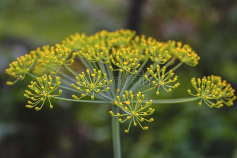 Zweige des Dills mit Blütenständen von Samen Nahe hohe Ansicht mit undeutlichem Hintergrund lizenzfreie stockbilder