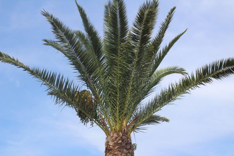 Zweige einer Palme stockbild