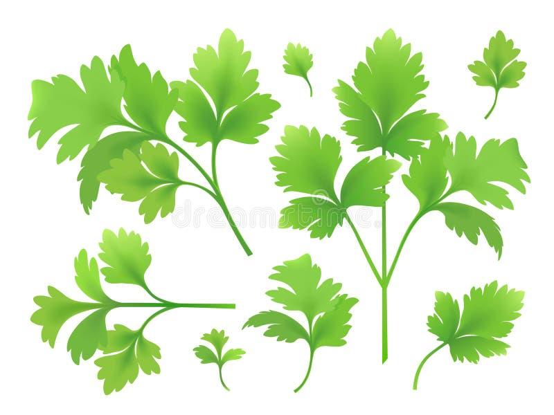 Zweige und Blätter der Petersilie stock abbildung