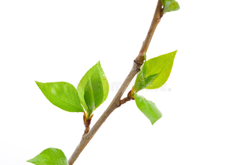Zweigespenbaum mit den Frühlingsknospen stockfoto