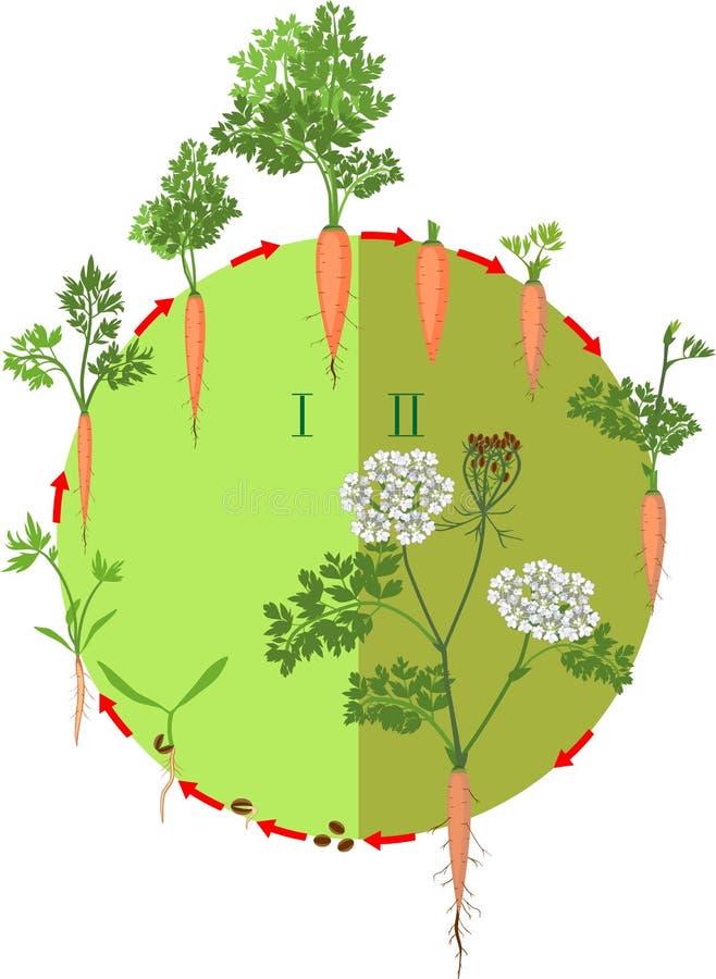 Zweij?hriger Lebenszyklus der Karottenentwicklung vom Pflanzen eines Samens zu bl?hender Pflanze lizenzfreie abbildung
