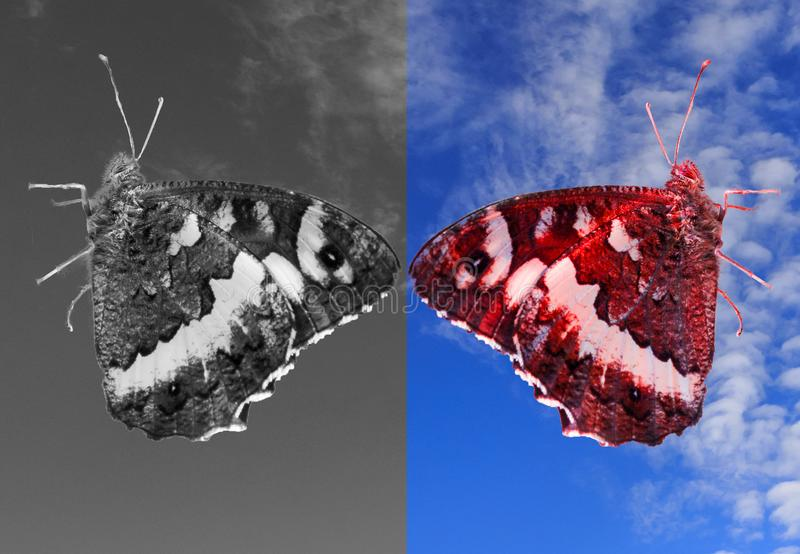 Zweipoliger Geistes-disorter Schmetterling Schwarzweiss-- und gefärbt lizenzfreie stockfotografie