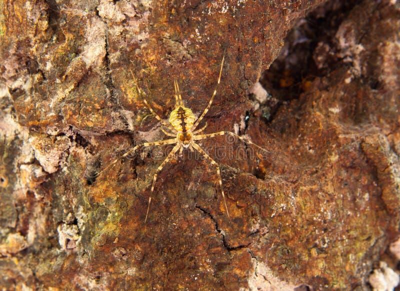 Zweischwänzige Spinne lizenzfreie stockfotografie
