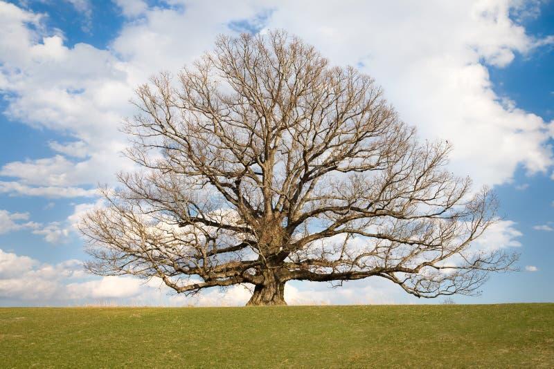 An zweiter Stelle ältester Baum der weißen Eiche in USA stockbild