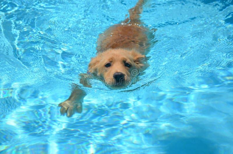 Zwemmend Gouden Puppy in een Pool stock afbeeldingen