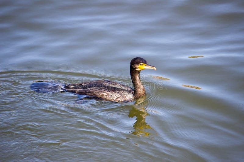 Zwemmende Aalscholver royalty-vrije stock foto's