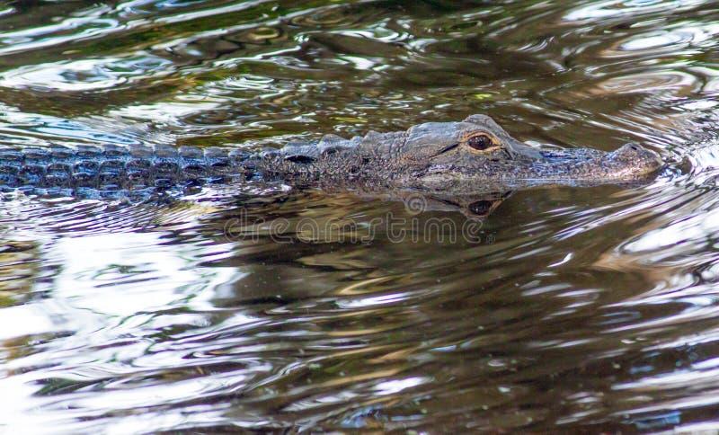 Zwemmende Alligator stock fotografie