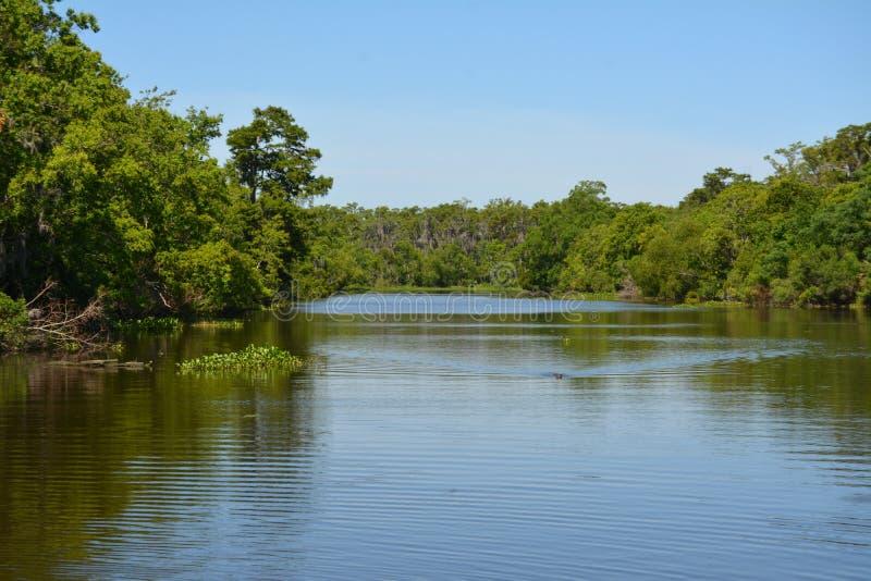 Zwemmende Alligator stock foto's