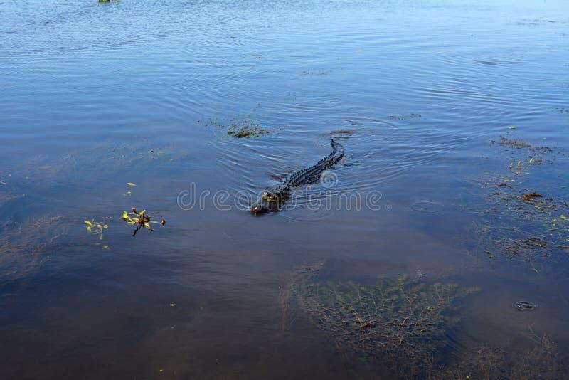 Zwemmende Alligator royalty-vrije stock foto's