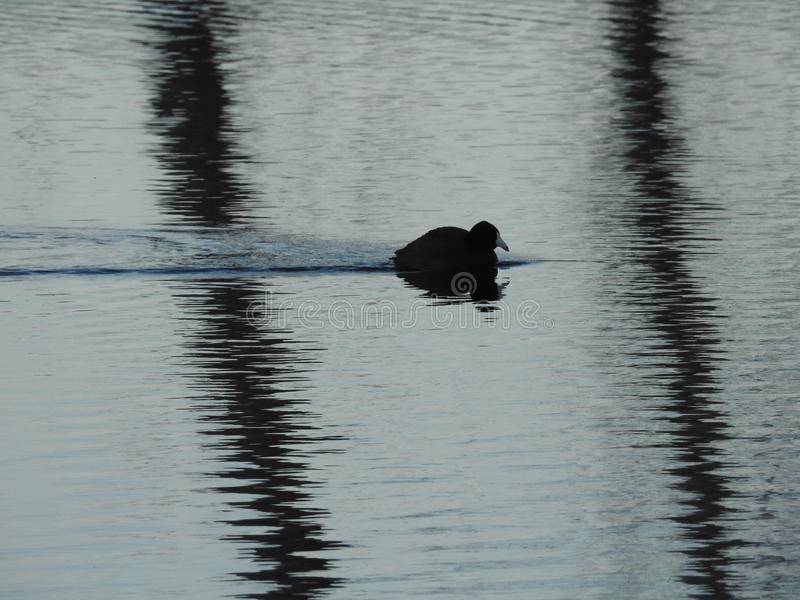 Zwemmende Eend stock afbeelding