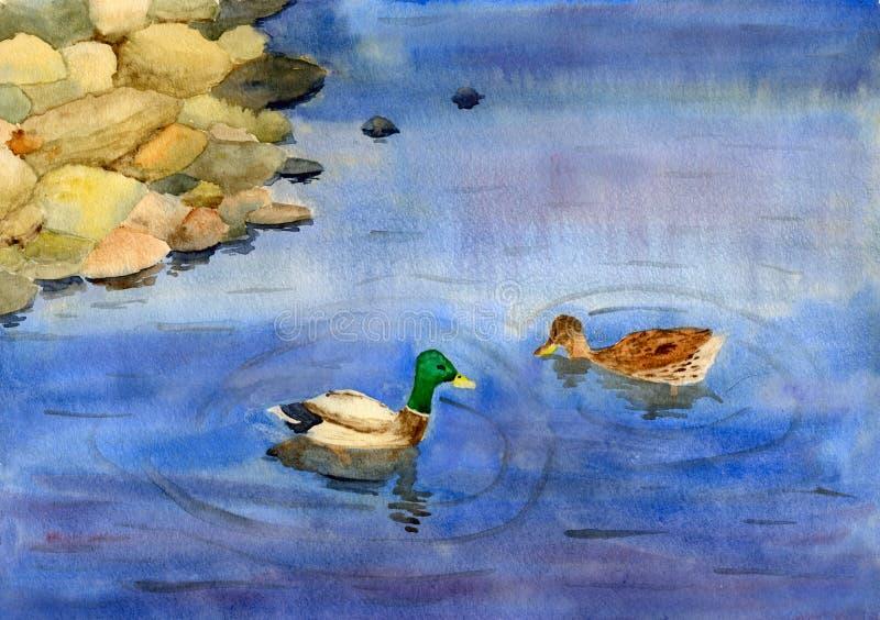 Zwemmende eenden stock illustratie