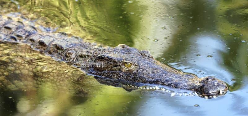 Zwemmende krokodil royalty-vrije stock fotografie