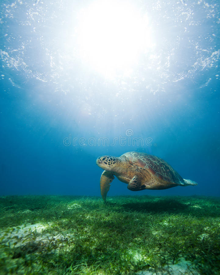 Zwemmende overzeese schildpad in zonlicht stock foto