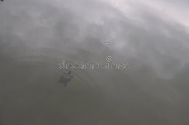 Zwemmende Schildpad stock afbeeldingen
