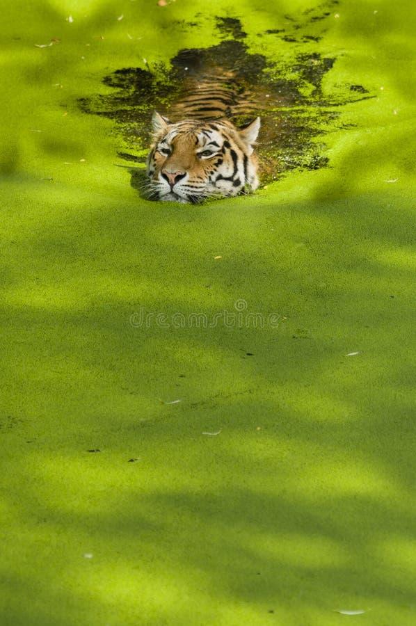 Zwemmende tijger stock foto's
