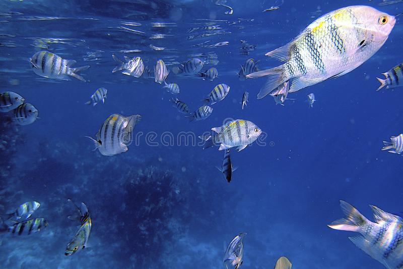 Zwemmende vissen onderwater in koraalriffen in het blauwe overzees stock foto's