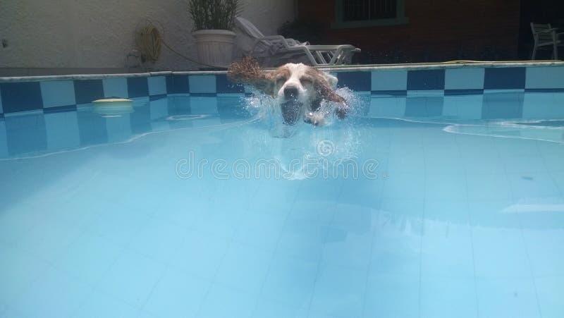 Zwemmershond stock afbeeldingen