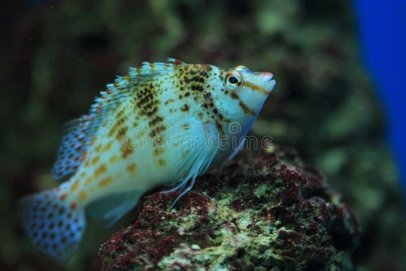 Zwergartiges hawkfish lizenzfreie stockbilder