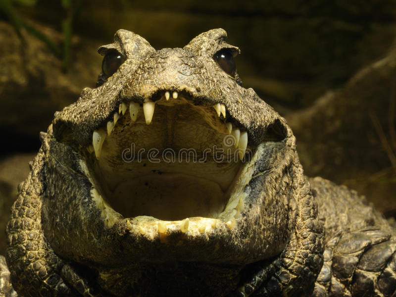 Zwergartiges Krokodil (Osteolaemus tetraspis) lizenzfreies stockbild
