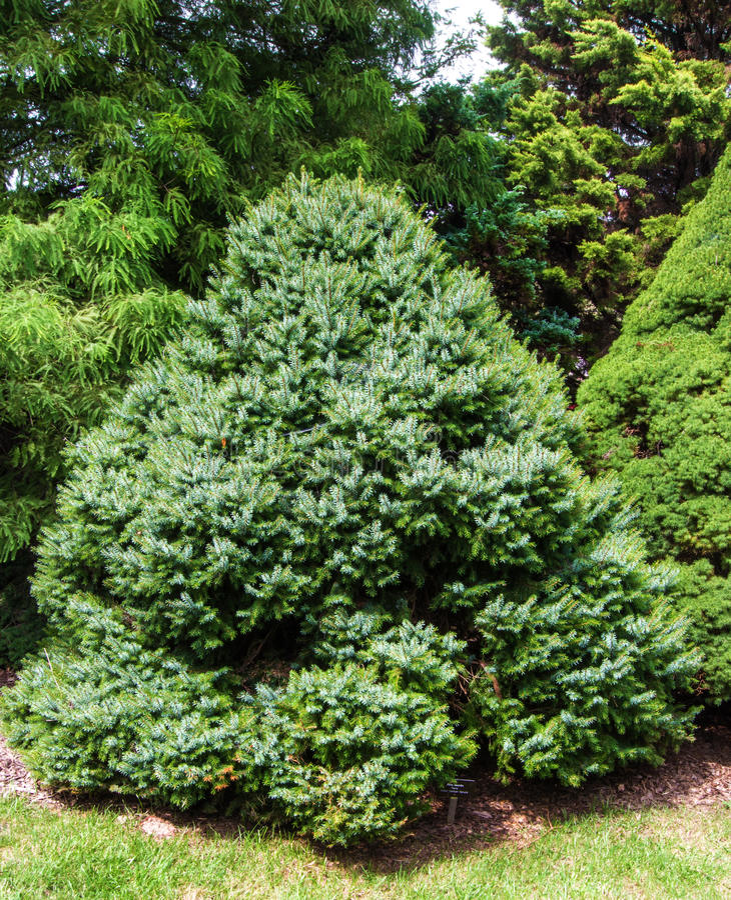 """Zwergartiges serbisches geziertes †""""Picea omorika stockbild"""