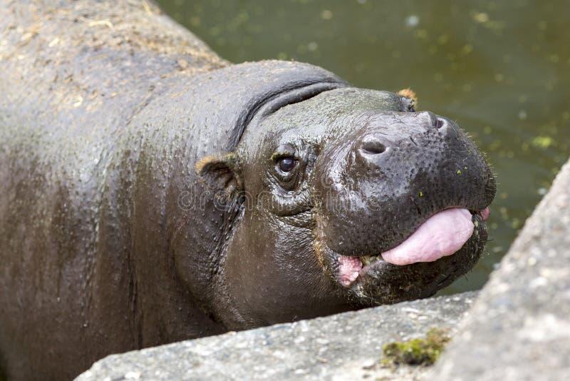 Zwergflusspferdzunge stockfotos